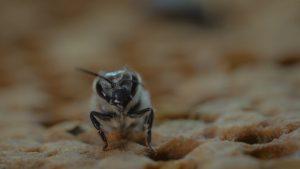 Schluepfende_Biene